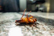 القضاء على الصراصير بدون مبيدات